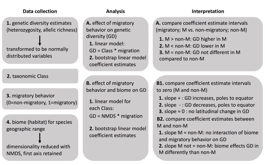 Heuristic overview of data collection, analysis and interpretation. We utilized four sources of data (i.e. genetic diversity, taxonomy, migratory behaviour and biome) to evaluate differences in genetic diversity between migratory and nonmigratory species (Analysis A) and the interaction between migratory behaviour and species biome (Analysis B). In both the analyses, we assessed significance by bootstrapping the linear model coefficient estimates and comparing the coefficient estimates.