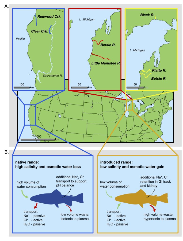 Location of steelhead sampling sites (A) and comparison of environmental conditions between native and introduced range (B). In total, 48 individuals were sampled from the Betsie and Little Manistee Rivers (in 1983-84) as well as Black and Platte Rivers (in 1998-99). Additionally, 24 individuals were sampled from the Betsie River in 1998-99 as well as Clear and Redwood Creeks. Sampling from the native range included anadromous individuals that are born in freshwater streams but then migrate to thePacific Ocean as juveniles while individuals sampled in Michigan are also born in freshwater streams but then use Lake Michigan as a surrogate ocean. Because the Pacific Ocean and Lake Michigan differ in salinity, the sampled steelhead populations were subject to vastly different salt and ion?transport processes in their respective environments (B).